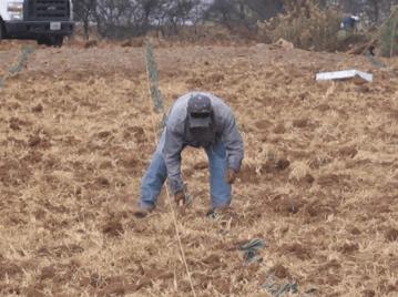 plantación manual del agave