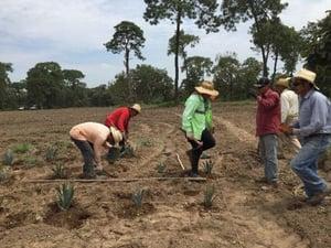 plantación del agave jornaleros sauza