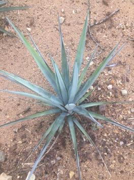 maquinas para plantar agave sauza