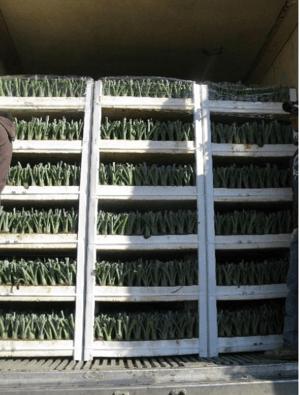 micropropagación del agave casa sauza