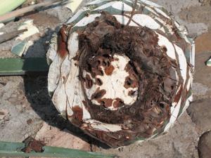 hongos en piña de agave