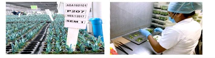 Micro propagación Agave Agromod Casa Sauza
