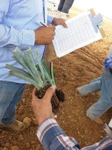 Hijuelo de agave de Casa Sauza