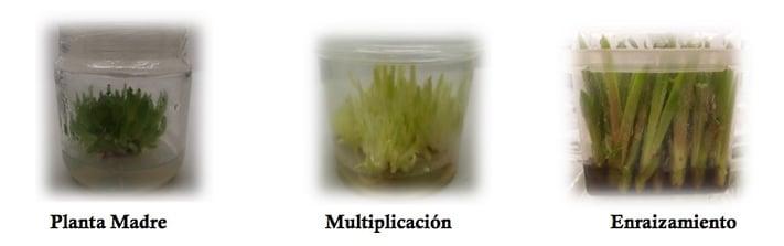 Micropropagación madre multiplicación y enraizamiento.jpeg