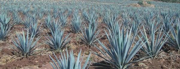 tequila denominación de origen sauza