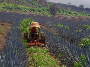 tractor limpiando campo de agave Casa Sauza