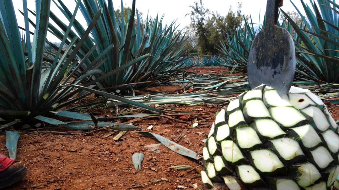 tequila jalisco casa sauza