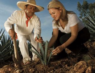 plantación de agave tequilana weber azul sauza