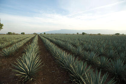 Pollination of tequilana weber agave, blue variety fields Casa Sauza