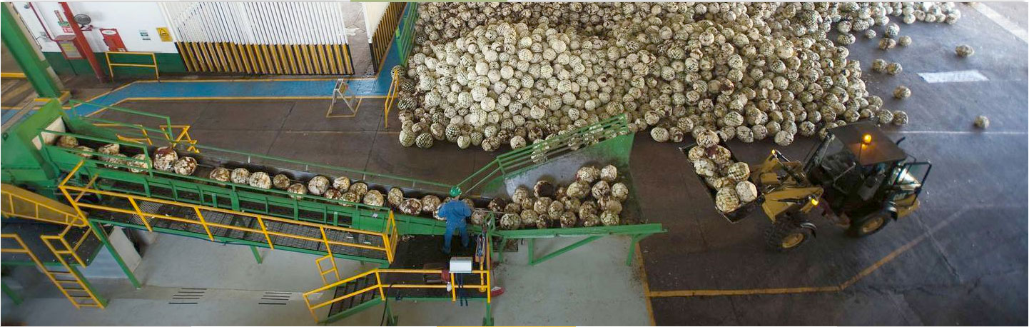 Extracting agave Casa Sauza