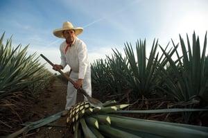 Jimador de Agave para producir tequila Casa Sauza